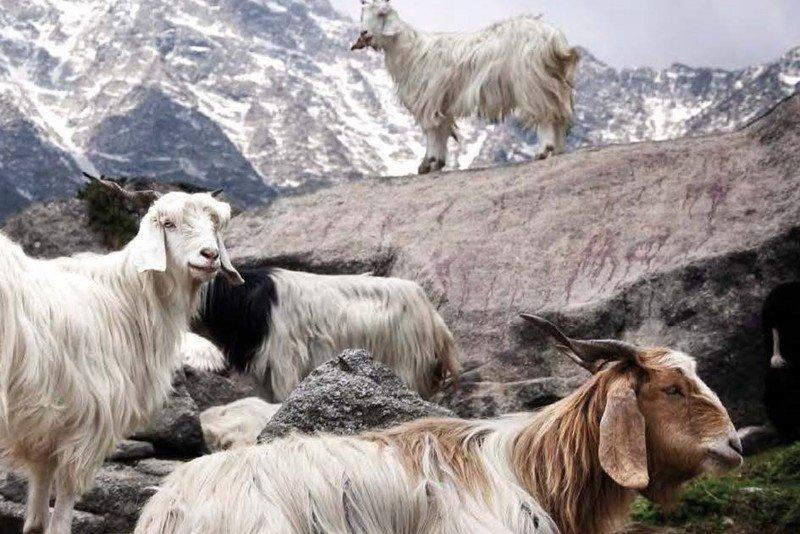 пух козы
